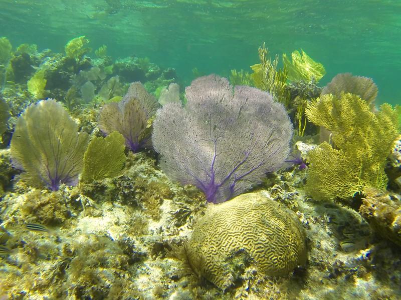 Sea fans in the Caribbean.