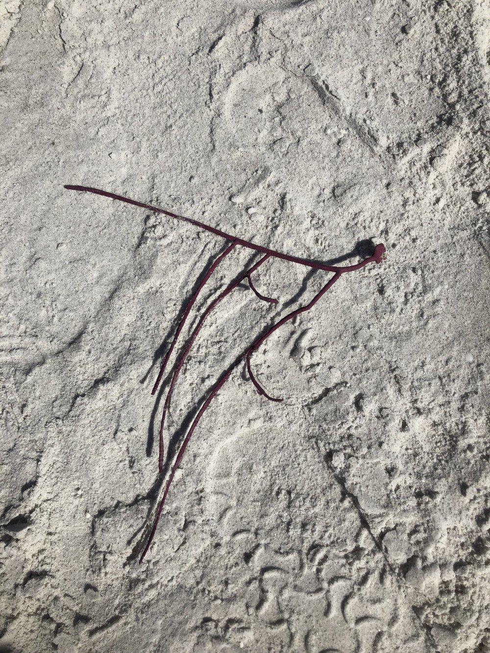 A gorgonian on Sanibel.