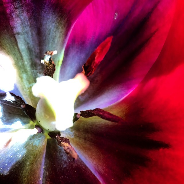 "Went for a run in the fields to come back to this #beauty in my mums #garden Oh the COLOURS!!! When back in Canada I must put the ""u"" back in words haha ;) #tulip #love #lifeisgood #flower #macroshot #iprolens #iprolenssystem #macro_captures #nature #rules"