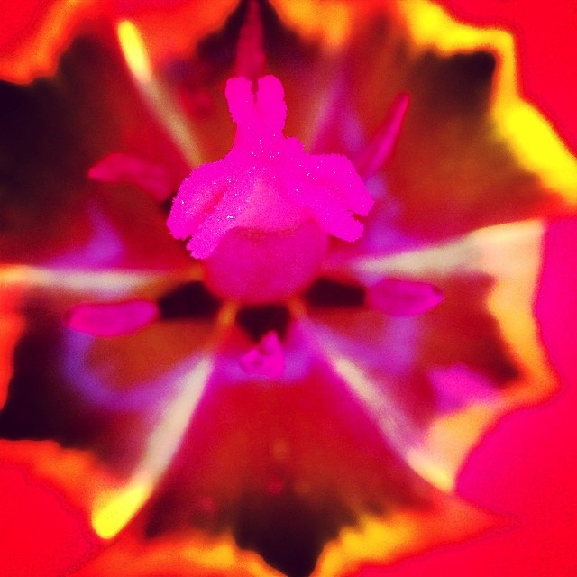 Seriously so beautiful #tulip #heart #garden #flower #love #iprolens #macroshot #nobloodyfilter