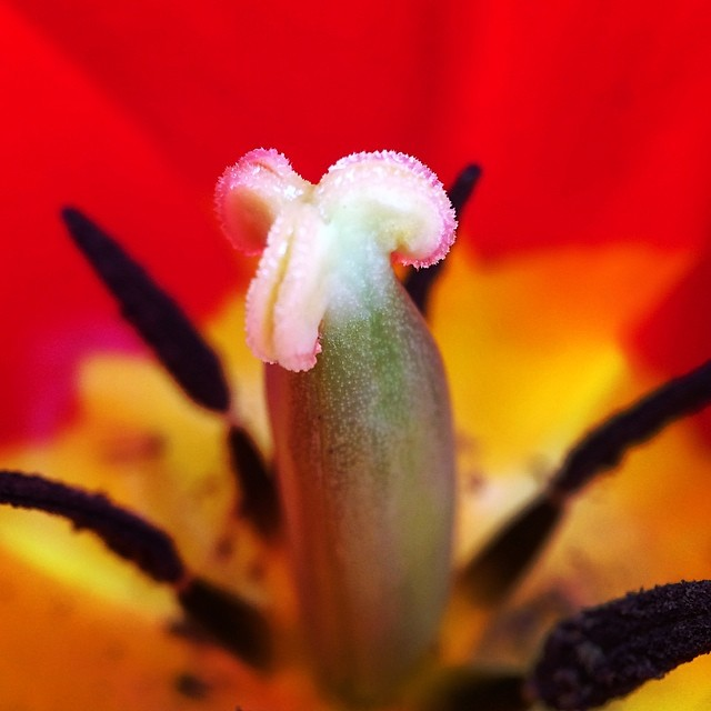 Love is a fire that burns unseen       #tulip #love #flower #nature #macro #macroshot #macro_captures #macrophotography #iprolens #iprolenses #iprolenssystem