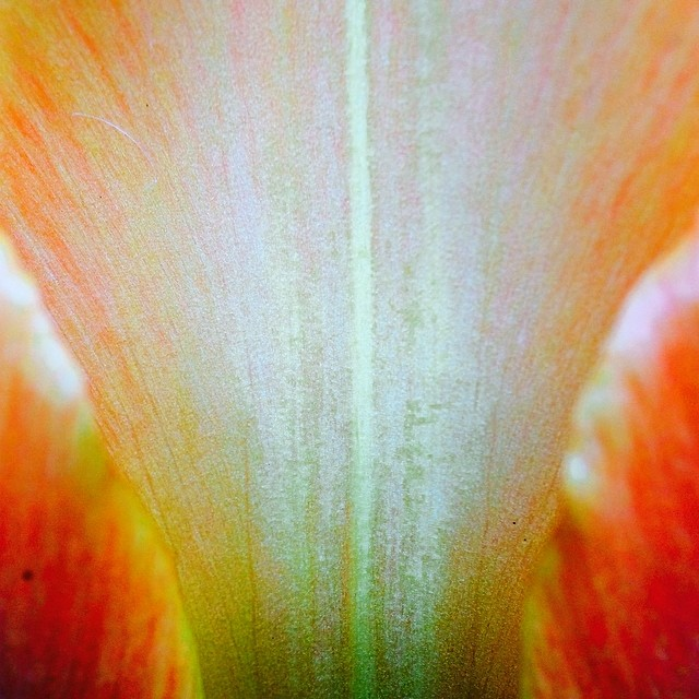 Tulip love #1 #flower_daily ❤️#macroflower #macro #iprolens #maybabe