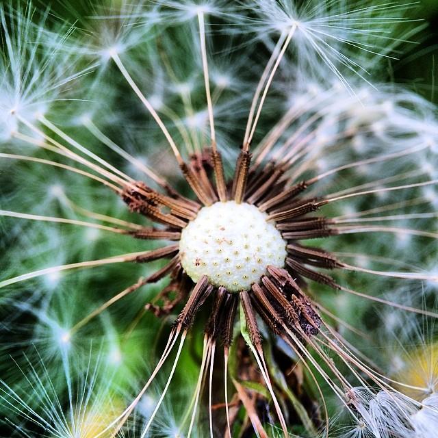 Morning #springtime wishes             #dandelion #macrolove #macroporn #macroshot #iprolens #ig_macros #ig_flower #ig_energy #macro_family #macrooftheday #macrophotography #macro_holic  #nobloodyfilter #nofilter