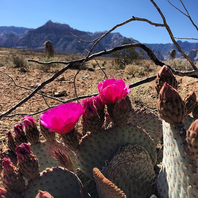 My version of #coachella roaming the desert taking pictures of nature. #pricklypear #cactus #flower #nevada #iprolense #iprolenses #love 🌵🌸