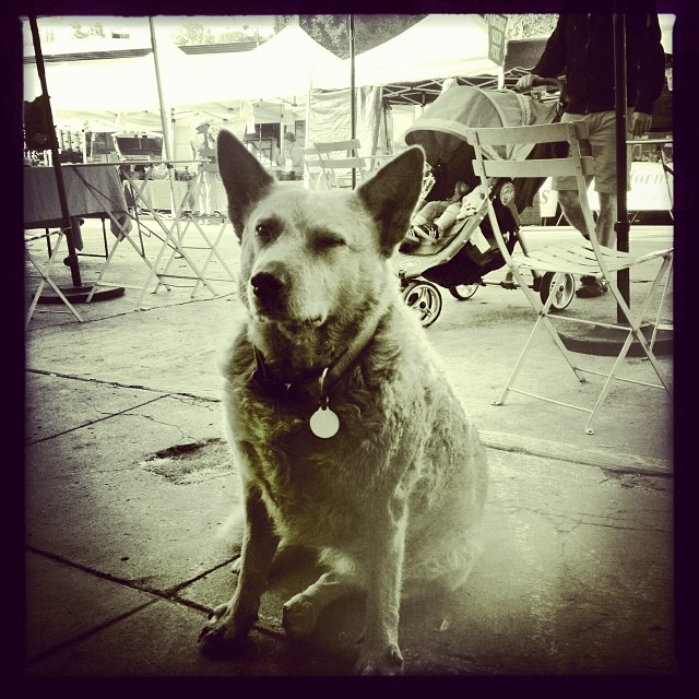 Saidie the #farmersmarket dog. Ever patiently waiting for her owner or preferably snacks. #silverlake #claunch72