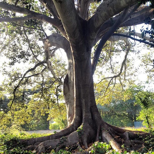 Tree of Life #rubbertree #filmset #photoshoot #gorgeousday