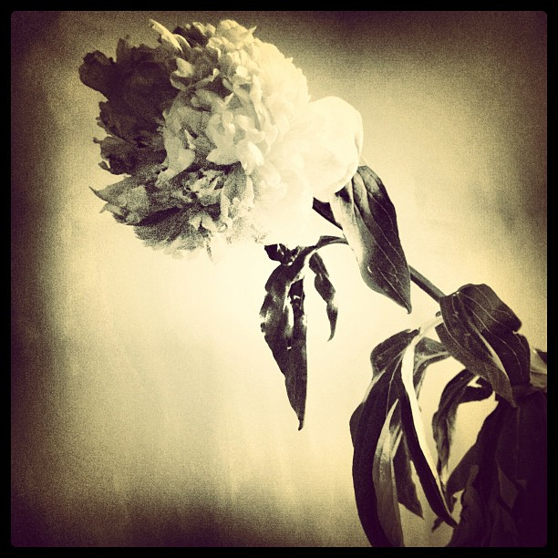 Even when dying #peonies are so stunning… (Taken with  Instagram )