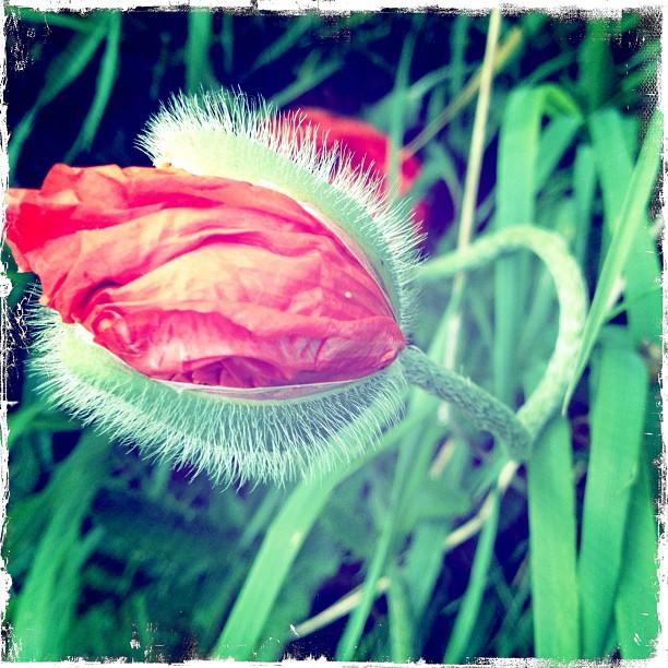 #poppy #flower my love… (Taken with  instagram )