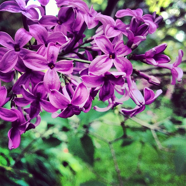 The #glorious #smell and #beauty of the #lilac is #intoxicating  #ontario #canada  I ❤ you! (Taken with  instagram )