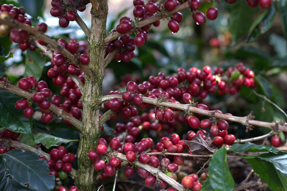 Honduras-Origin-Coffee-Cherries.jpg