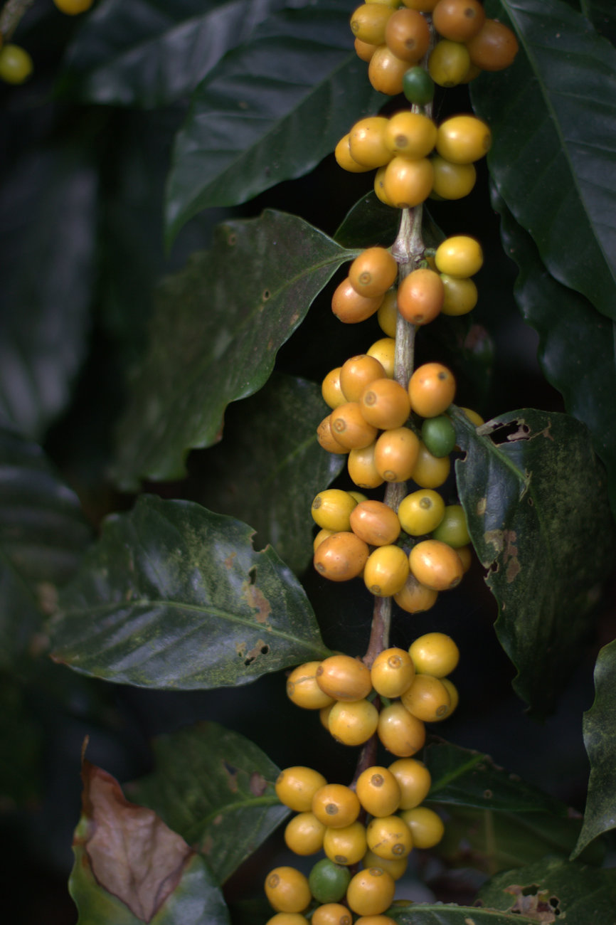 Honduras Unripe Coffee Cherries