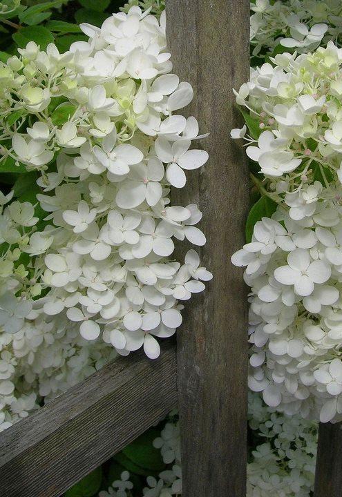 601446_383840051723415_1437202803_n white lilacs.jpg
