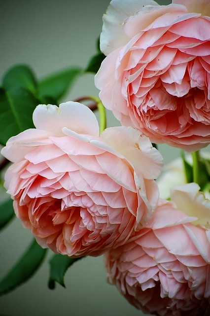 Old English Roses. Gorgeous.jpg