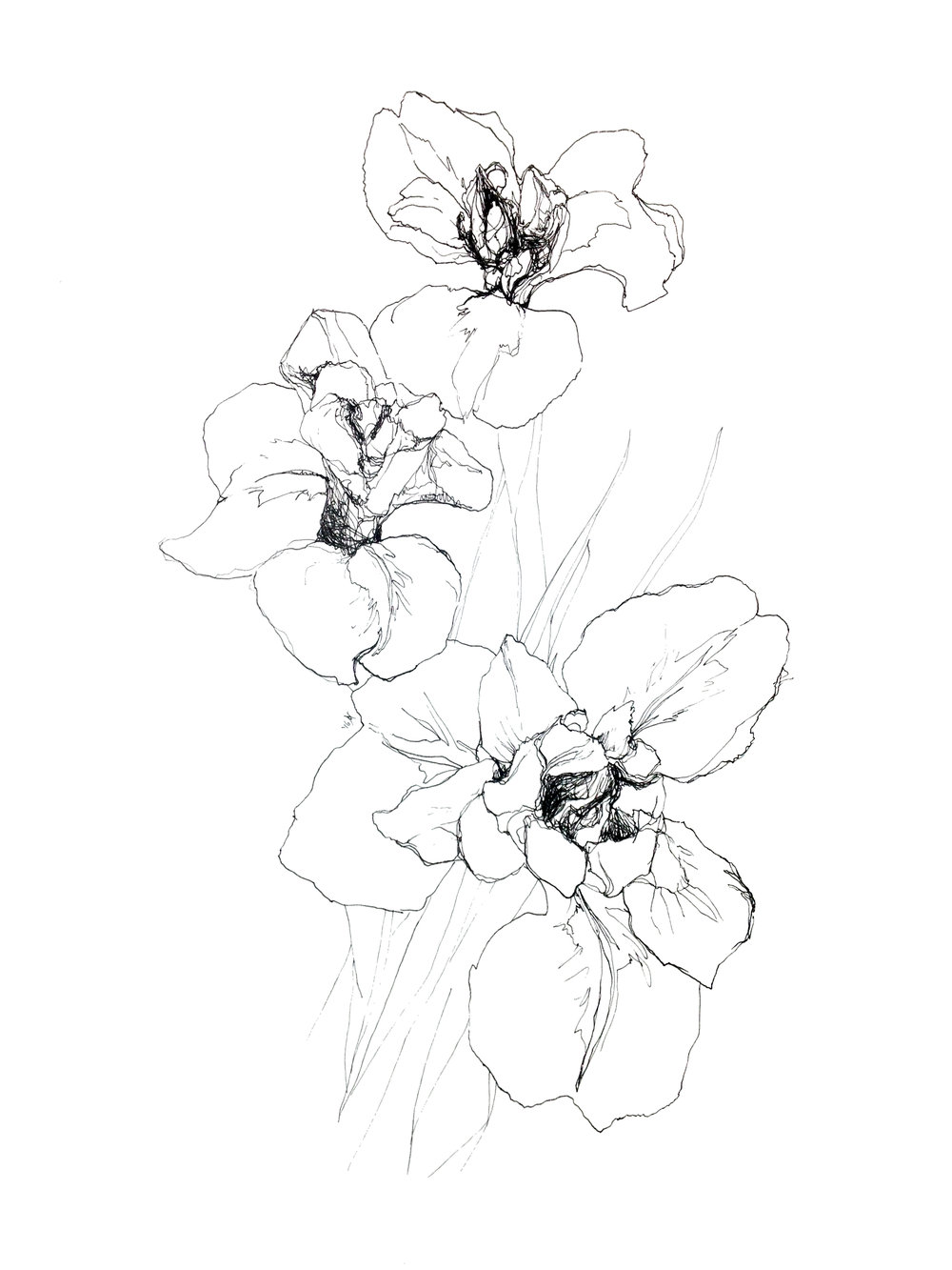 'Iris' ,Staedler pigment liner,450 x 320, 2016
