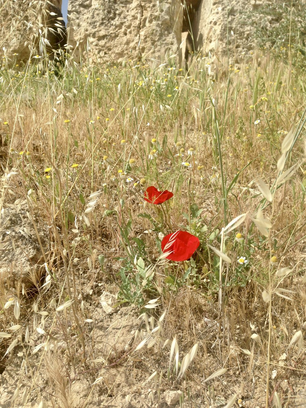 Poppies- dem reds!