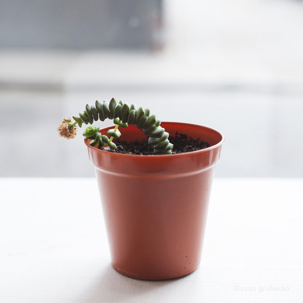 Crassula Succulent £3
