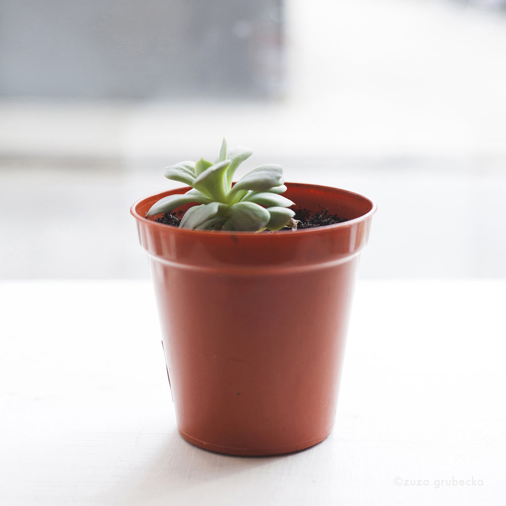 Echeveria Succulent £3