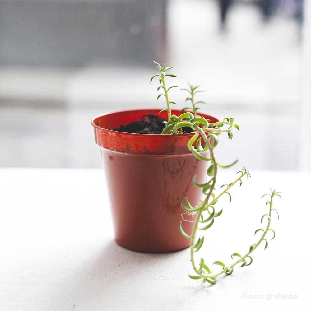 Sedum Succulent  £5
