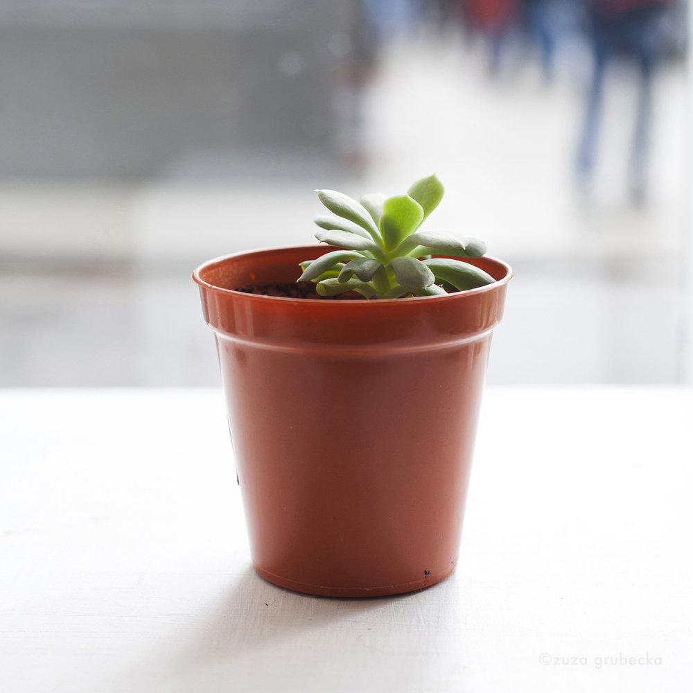 Echeveria Succulent  £5