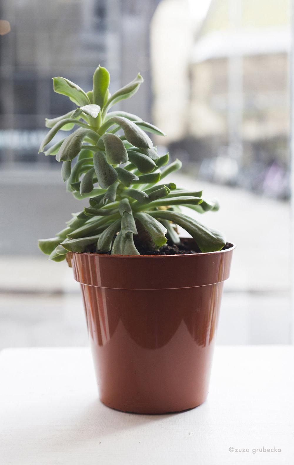 Echeveria Succulent £8