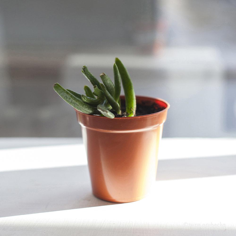 Crassula Succulent  £5