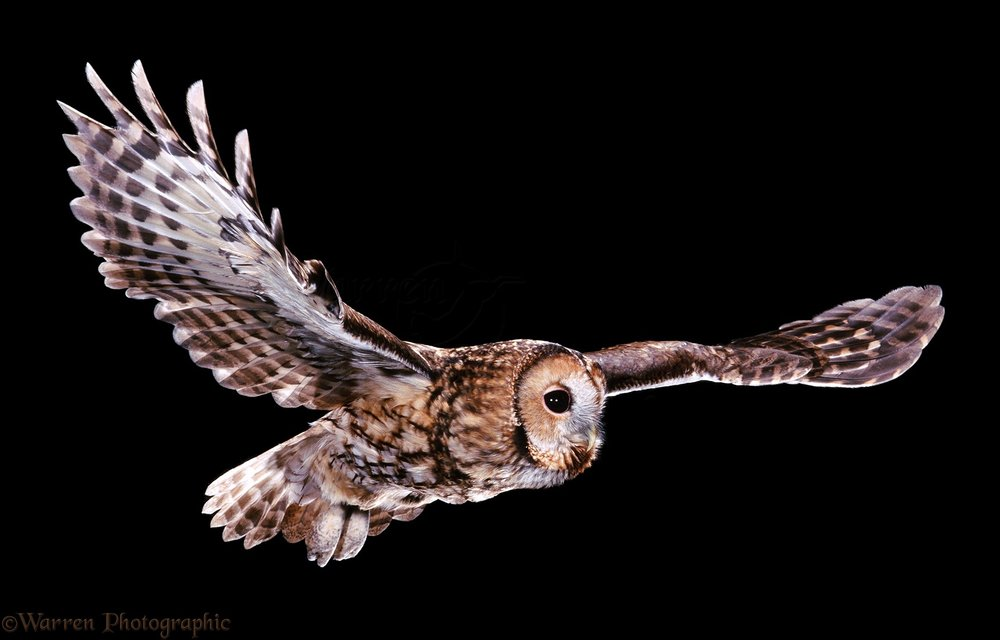 02803-Tawny-owl-in-flight.jpg