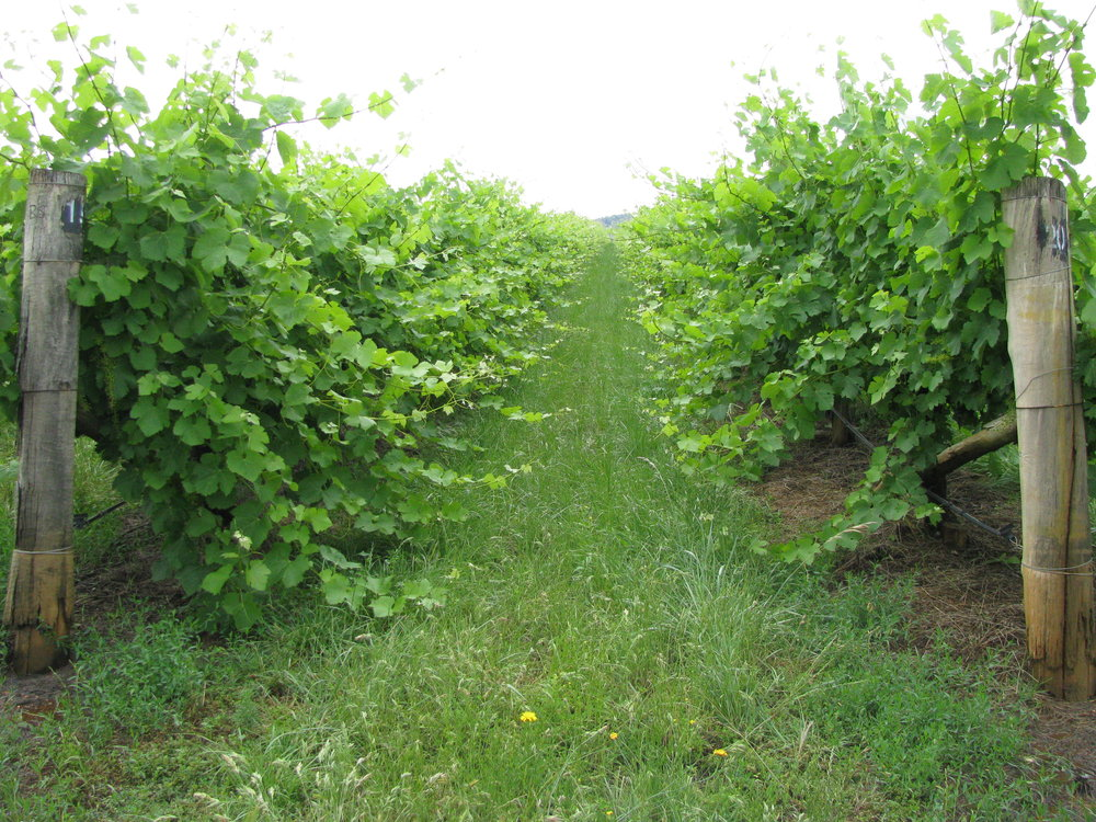 The vines in December 2017
