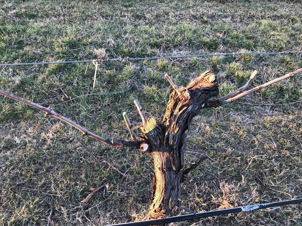 Vineyard Pruning begins