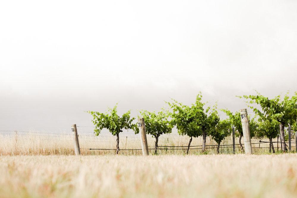 Vineyard22Nov (1 of 1)-3.jpg