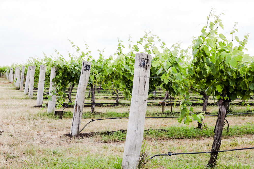 Vineyard22Nov (1 of 1)-14.jpg