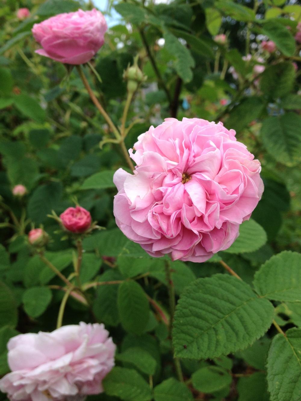 rose in garden.jpg