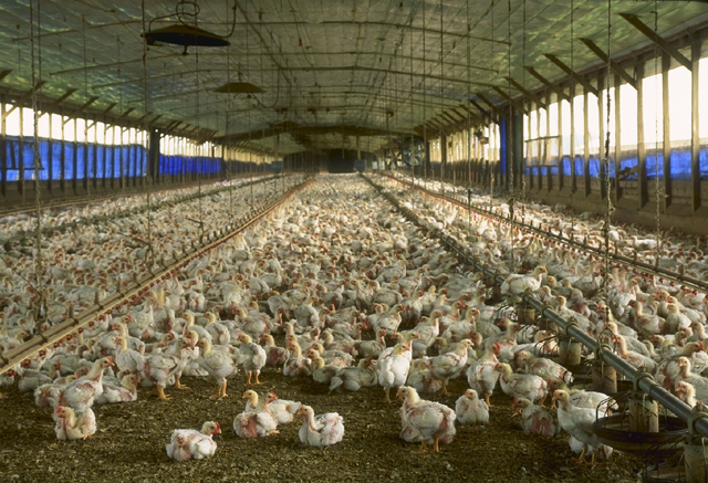 Commercial Meat Poultry House. Photo courtesy wikicommons and USDA.