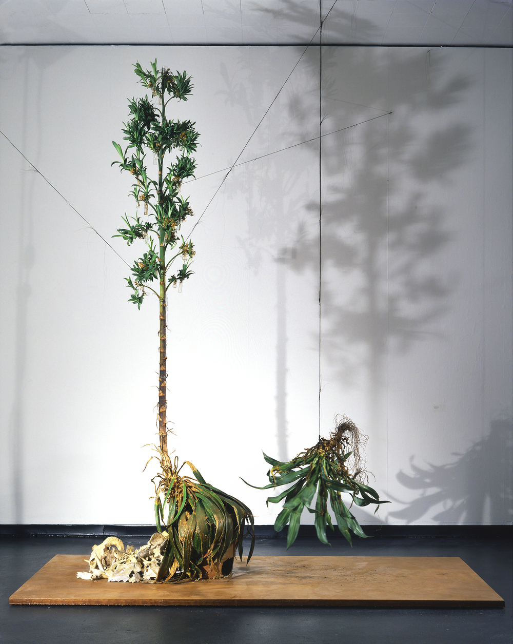 Agave Installation View, 2001   Agave, skull fragments, horsehair, beeswax, wood, glass, wire 180x120x48""