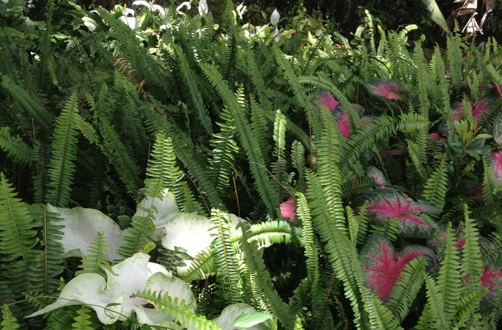 My ferns and caladiums this past summer before the delivery van