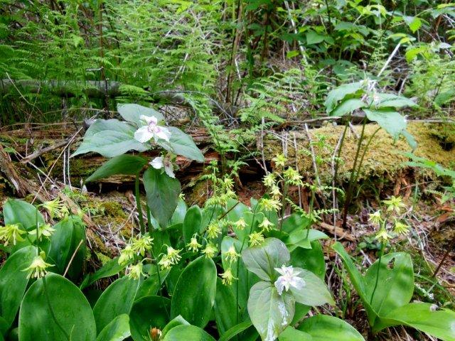 The large leaves are Clintonian in bloom?  Trillium and unknown.