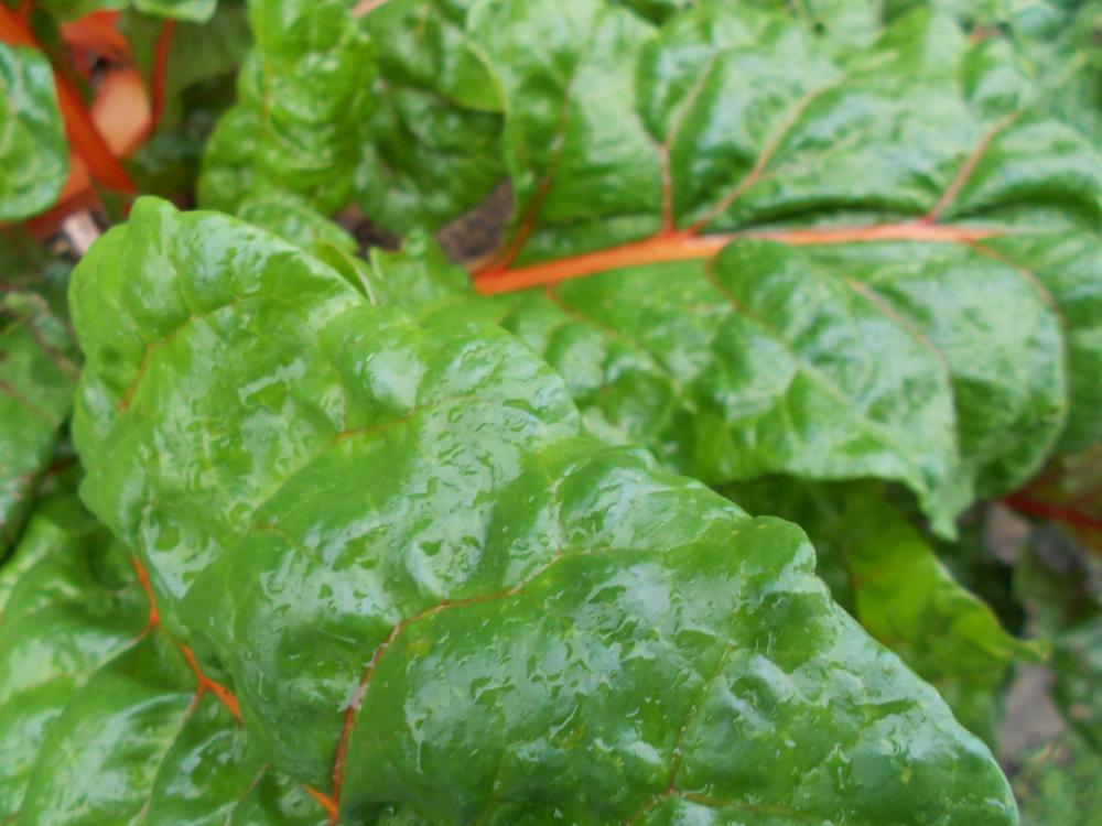 Chard Leaves.jpg
