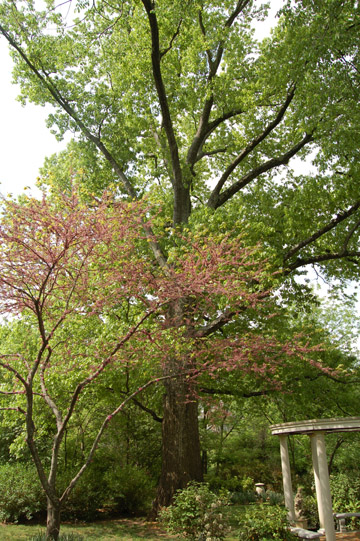 Northern Red Oak