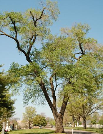 Siberian Elm