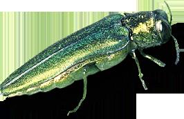 EAB bug.png