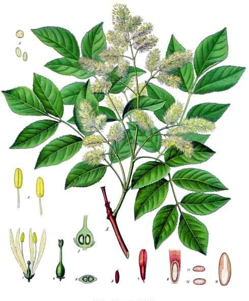 Ash botanical drawing.jpg