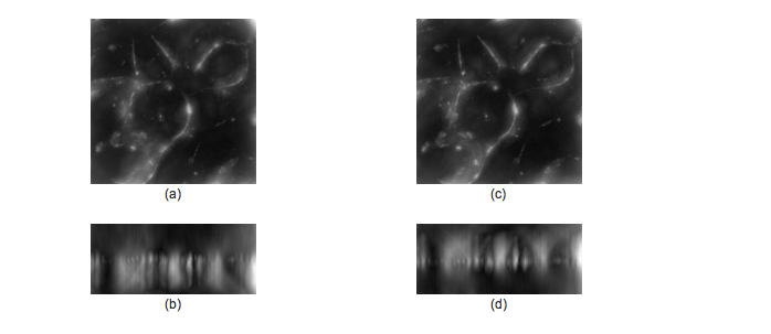 Figure 4: The image in Figure 3, deconvolved, then convolved with spherically aberrated PSFs: a+b) XY and XZ maximum intensity projection of the image convolved with severe negative spherical aberrations, and c+d) XY and XZ maximum intensity projection of the image convolved with severe positive spherical aberrations.