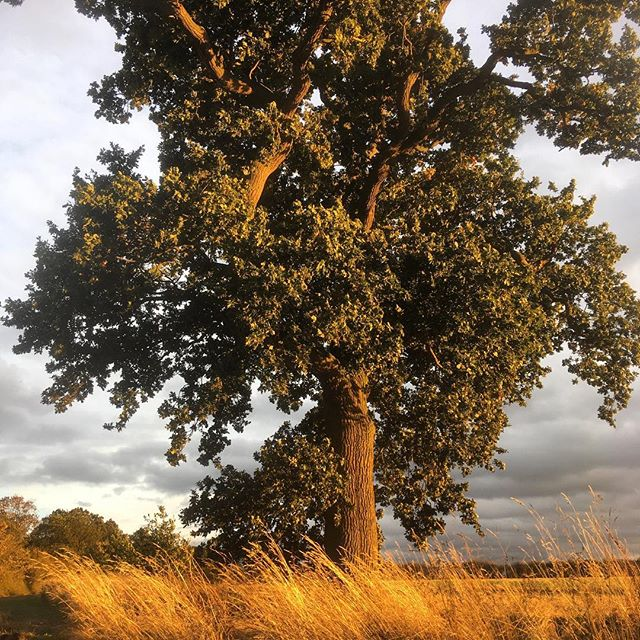 Good light during my Autumn holiday in the fields last week. Not a bad oak tree either... one of my favourites! #nofilter #holiday #light #trees #home #countryside #farms