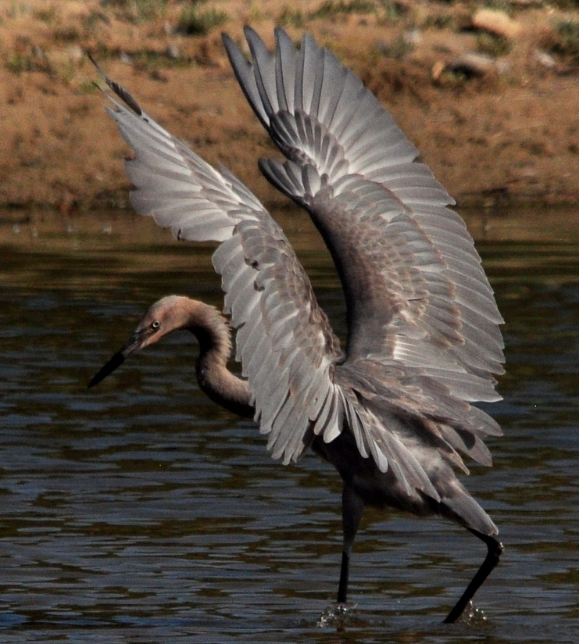 Reddish Egret, Goleta Slough outflow, 11Aug12 BushPhoto (9).JPG