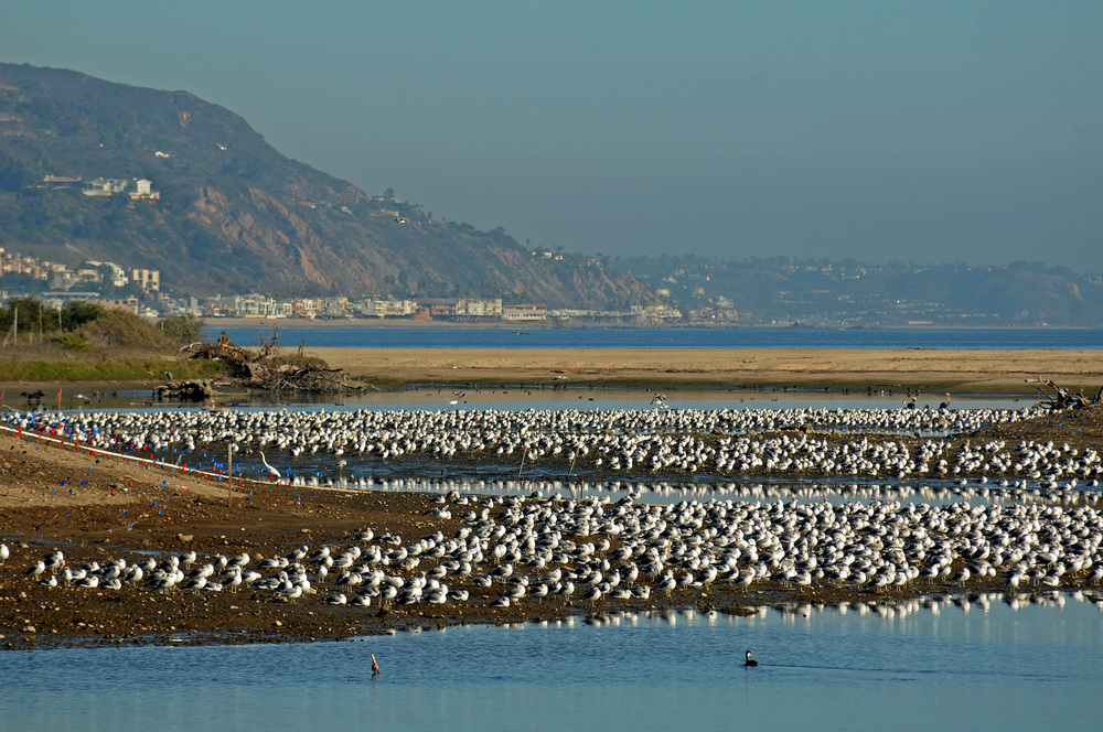 121012_-gulls-many_ml_j-kenney_12-10-12_dsc_3032.jpeg