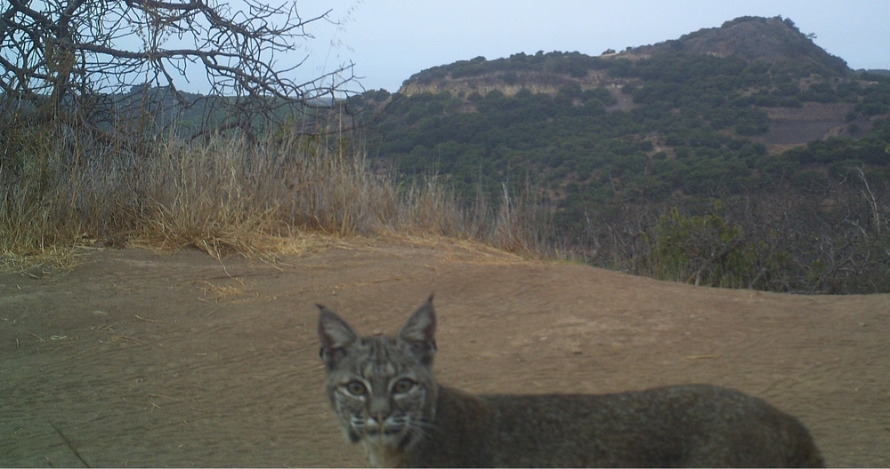 Critter-cam selfie of our resident bobcat.