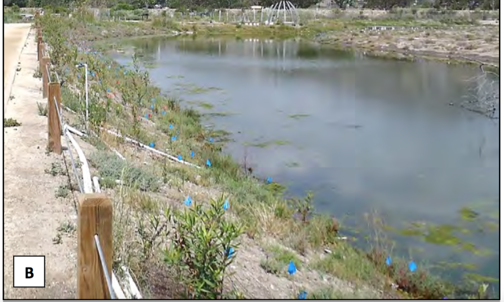 Malibu Lagoon in-planting by GS volunteers.