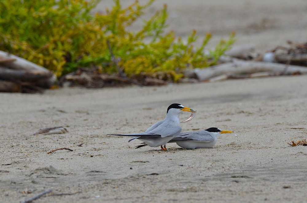 Least Terns Courting
