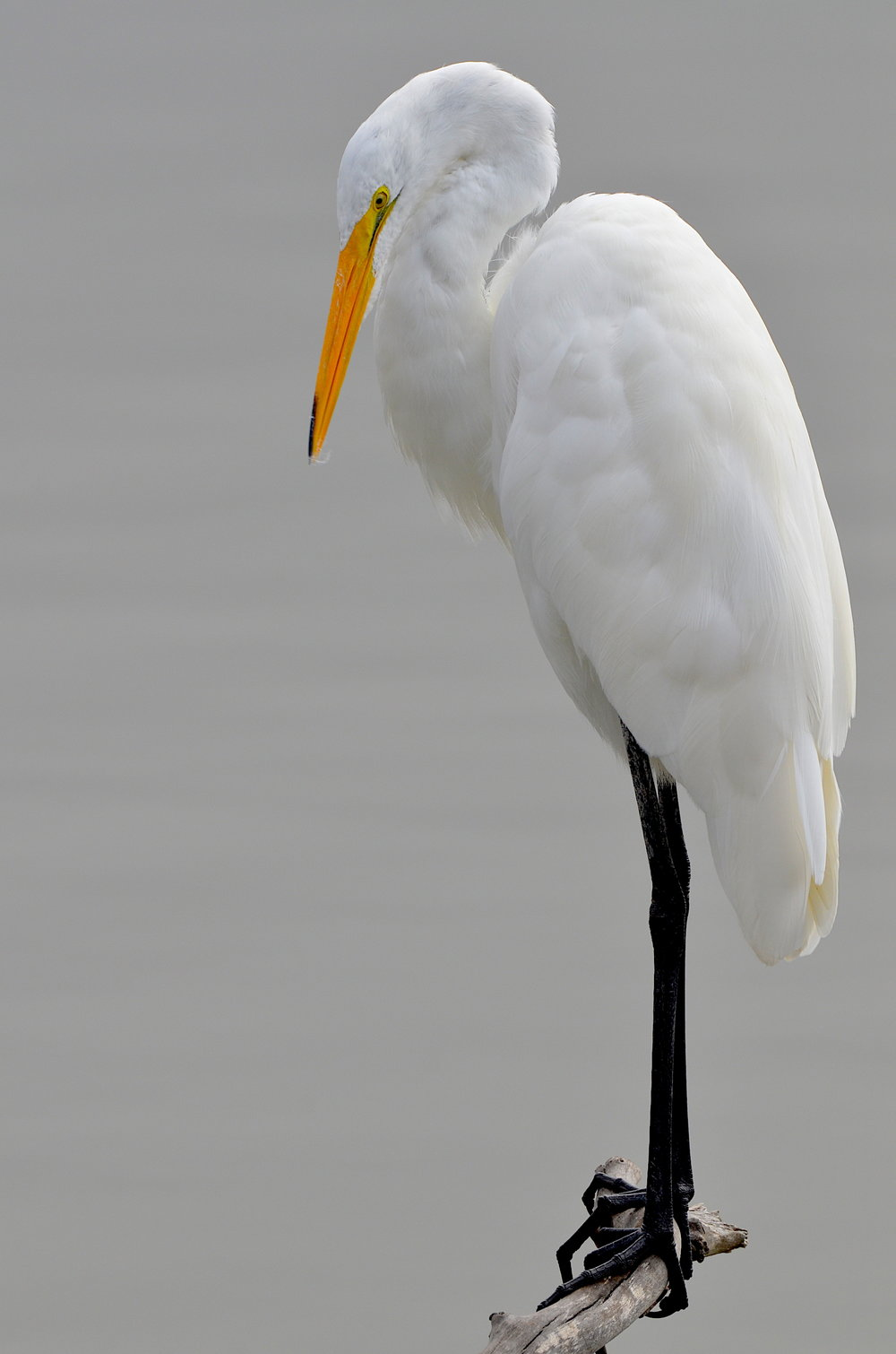 Great Egret (Bird Photos Courtesy of Larry Loeher).