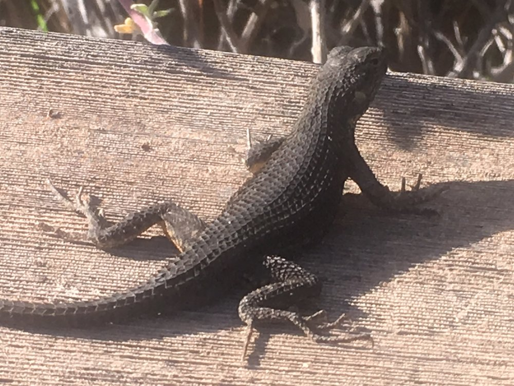 Western Fence Lizard at Puma Canyon Ranch.