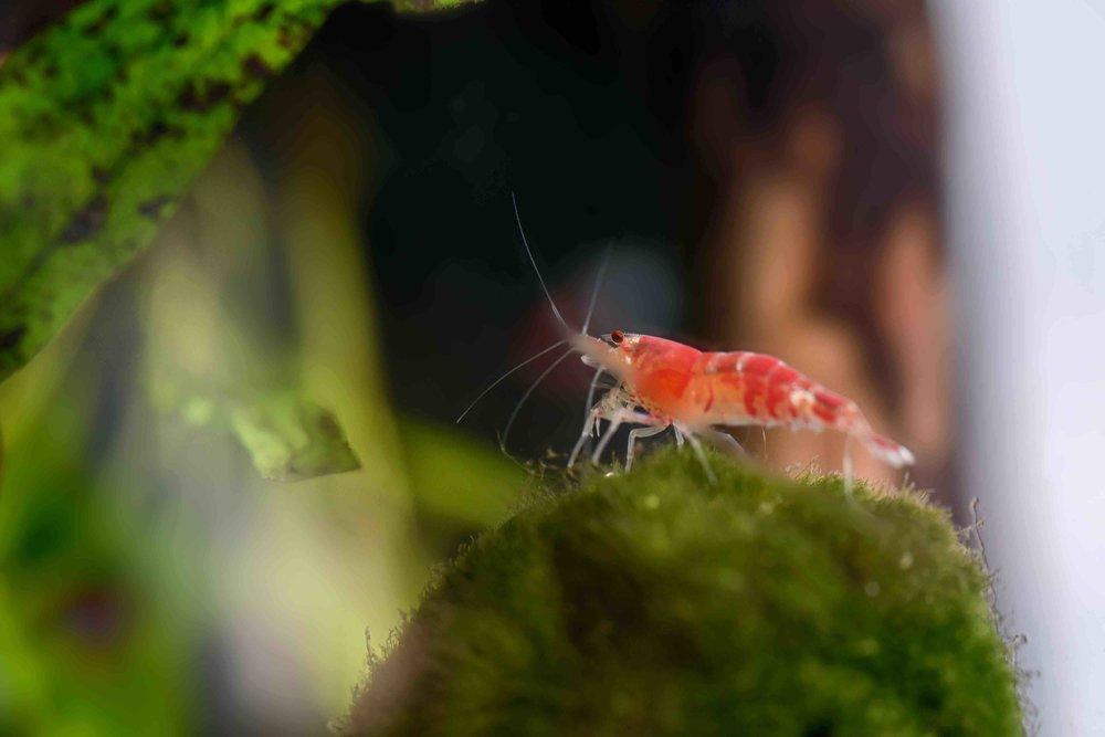 Sakura Garnelen fressen Algen und verendete Fische